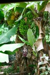 Banana trees in the backyard